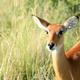 Impala Antelope, Uganda, Africa - PhotoDune Item for Sale