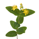 Flowering St John's wort flower - PhotoDune Item for Sale