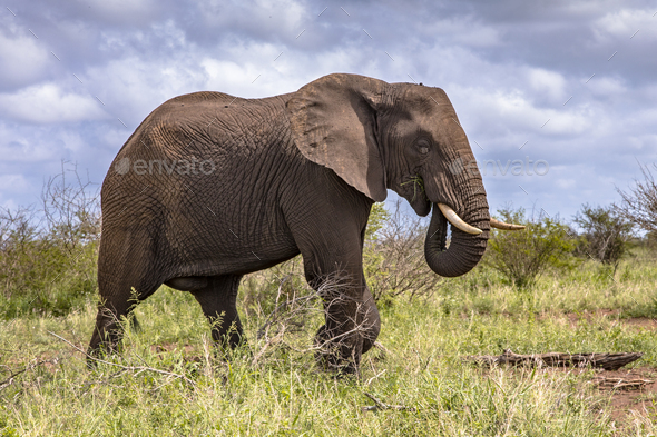 African Elephant walking sideview - Stock Photo - Images