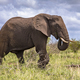 African Elephant walking sideview - PhotoDune Item for Sale