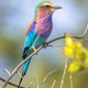 Lilac breasted roller in bush - PhotoDune Item for Sale