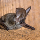 Grey long eared bat - PhotoDune Item for Sale