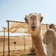 Curious camel in desert - PhotoDune Item for Sale