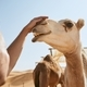 Man stroking happy camel - PhotoDune Item for Sale