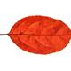 Autumn Leaf On White Background - PhotoDune Item for Sale