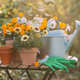 Gardening. Various potted flowers and a metal watering can on the garden table - PhotoDune Item for Sale