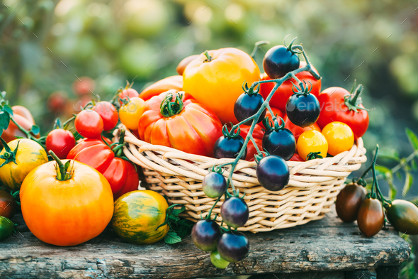 Blue cherry tomatoes and other varieties of tomatoes in the basket on the garden table - Stock Photo - Images