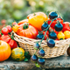 Blue cherry tomatoes and other varieties of tomatoes in the basket on the garden table - PhotoDune Item for Sale