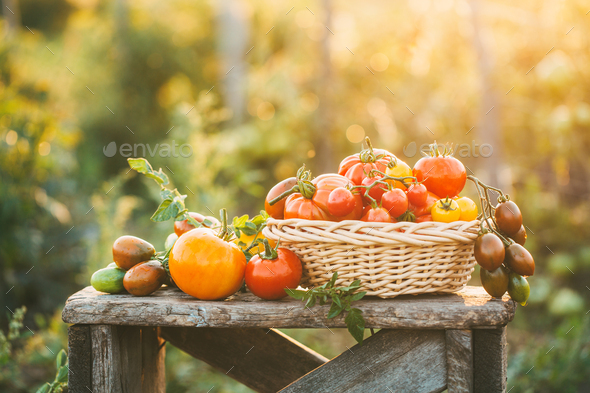 Red and yellow tomatoes in a wicker basket on wooden table. Outdoor - Stock Photo - Images