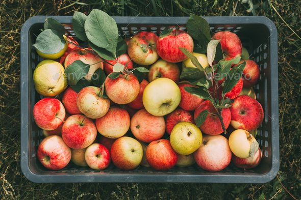 Freshly picked organic apples in a box. Organic food. Top view - Stock Photo - Images