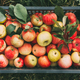 Freshly picked organic apples in a box. Organic food. Top view - PhotoDune Item for Sale