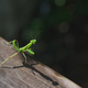 green european mantis on old wooden board - PhotoDune Item for Sale