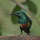 Beautiful sunbird (Cinnyris pulchella) - PhotoDune Item for Sale