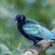 Purple glossy starling (Lamprotornis purpureus) - PhotoDune Item for Sale