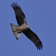 Yellow-billed kite (Milvus aegyptius) - PhotoDune Item for Sale