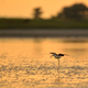 The black-winged stilt ( Himantopus himantopus ) on the sunset lake - PhotoDune Item for Sale