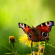 European peacock butterfly on wildflower - PhotoDune Item for Sale
