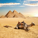 Camel and Pyramids - PhotoDune Item for Sale