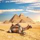 Camel near pyramids - PhotoDune Item for Sale