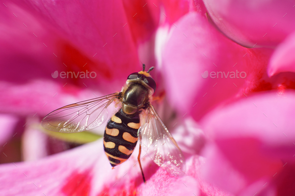 macro portrait of an eupeodes corollae insect resting on a geranium flower - Stock Photo - Images