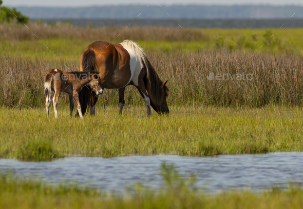 5 Day Old Wild Foal With Pony Mom at Assateague Island - Stock Photo - Images