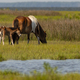 5 Day Old Wild Foal With Pony Mom at Assateague Island - PhotoDune Item for Sale