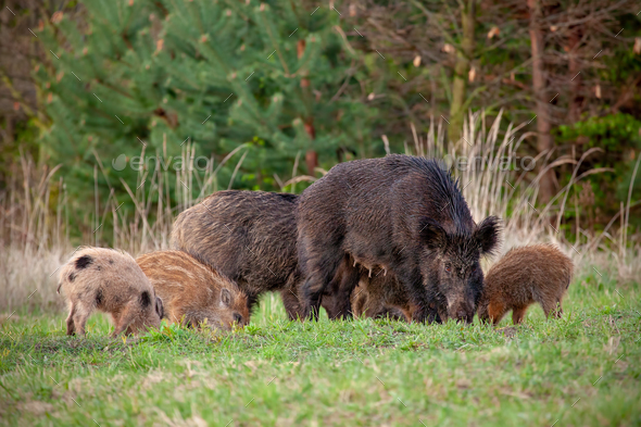 Wild sow with little stripped piglets grazing in fresh spring nature - Stock Photo - Images