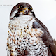 Peregrine Falcon 1 Away