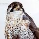 Peregrine Falcon 4 Overhead