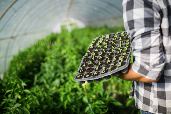 Young worker planting a tomatoes seedling in a greenhouse - Stock Photo - Images