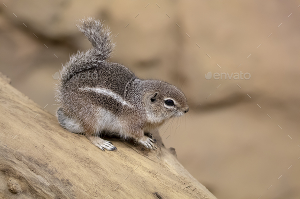 Harris's antelope squirrel - Stock Photo - Images
