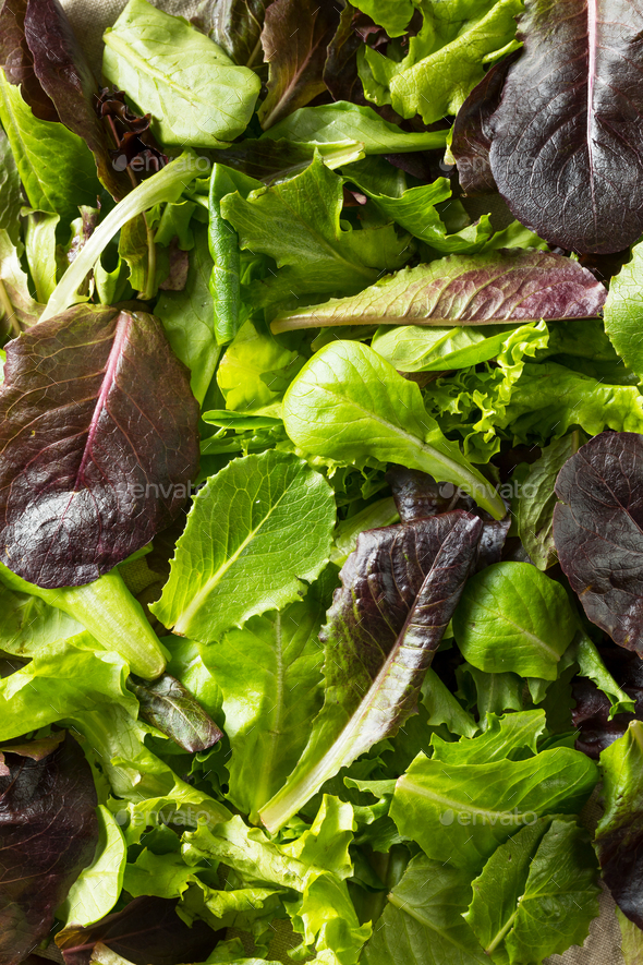 Raw Green Organic Baby Spring Lettuce - Stock Photo - Images