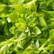 Raw Green Organic Spicy Greek Basil - PhotoDune Item for Sale