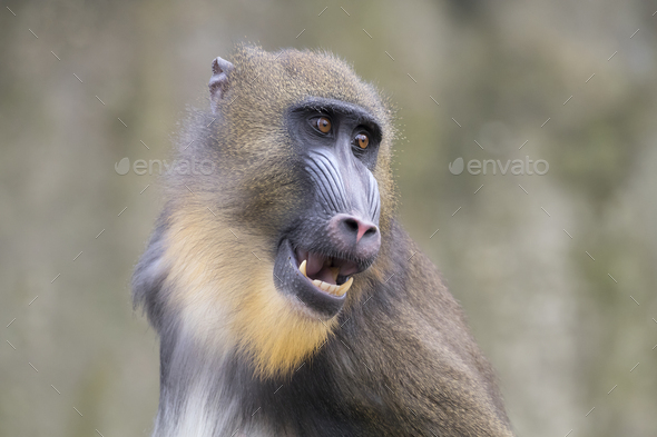 Young male mandrill - Stock Photo - Images