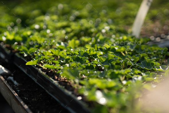 Close up of Flower and Vegetable Seedings in Greenhouse - Stock Photo - Images