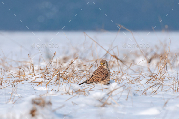 Common kestrel standing in snow and searching for food - Stock Photo - Images
