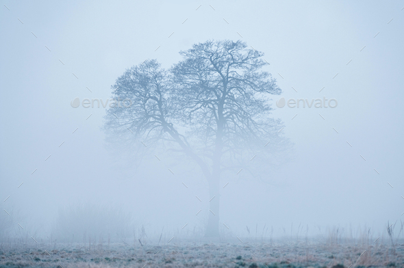 Alone tree, rising from a fog in early foggy winter morning - Stock Photo - Images