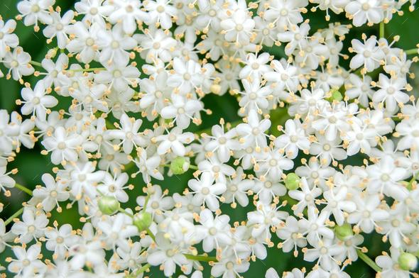 White blossom of elderflower (Sambucus nigra) shrub - Stock Photo - Images