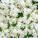 White blossom of elderflower (Sambucus nigra) shrub - PhotoDune Item for Sale