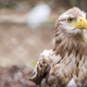 Mighty white tailed eagle in zoo cage - PhotoDune Item for Sale