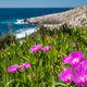 Pink flowres growing on the shore in Porto Limnionas - PhotoDune Item for Sale