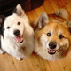 Two Canine Dog Companions Look at the Camera - PhotoDune Item for Sale