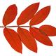 Autumn Leaf Ash On White Background - PhotoDune Item for Sale