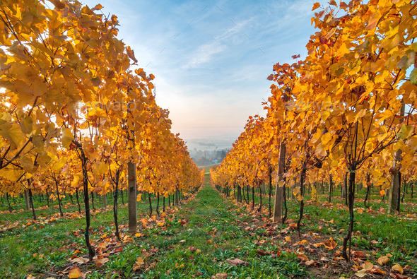 Beautiful yellow coloured leaves in autumn vineyard - Stock Photo - Images