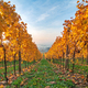 Beautiful yellow coloured leaves in autumn vineyard - PhotoDune Item for Sale