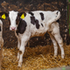 calf at modern agriculture stable - PhotoDune Item for Sale