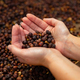 Female Employee Examines Dried Organic Raw Coffee Beans - PhotoDune Item for Sale