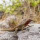 Lava lizard at Espanola Island, Galapagos, Ecuador - PhotoDune Item for Sale