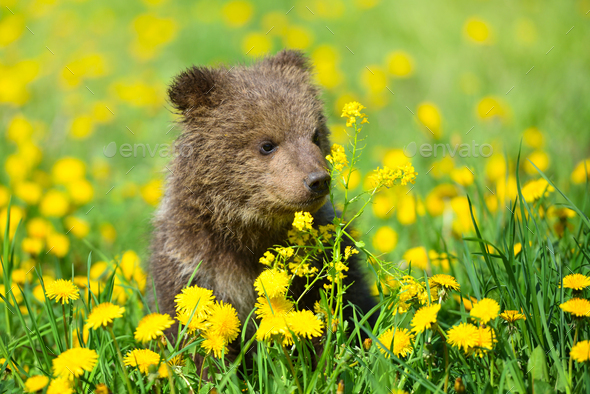 Cute little brown bear cub playing on a lawn among dandelions - Stock Photo - Images