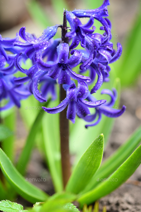 Purple Hyacinthus in a garden. Garden hyacinth with white bloomi - Stock Photo - Images